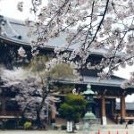 東別院の桜が満開